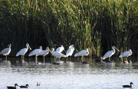 Spoonbills at Fivebough Kathy Tenison