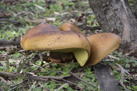 Phelbopus marginatus fungus