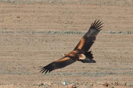 Lake Cowal - Wedge-tailed Eagle Kathy Tenison