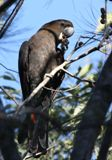 Glossy Black Cockatoo - image via Wikimedia Commons
