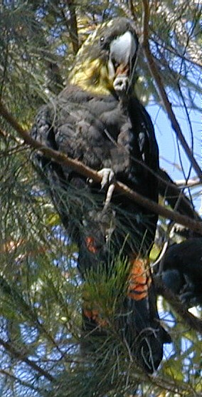 Glossy Black-Cockatoo Female - Note the irregular blotches on the neck