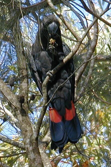 Glossy Black-Cockatoo - Male
