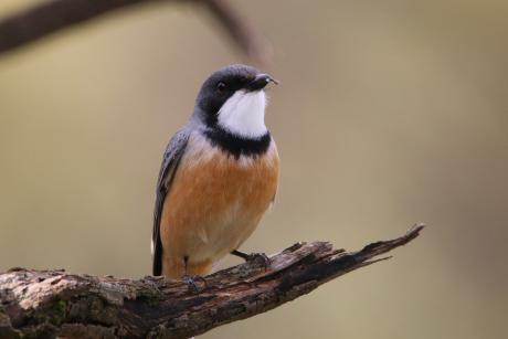 Rufous Whistler (Male) - Phil Tenison
