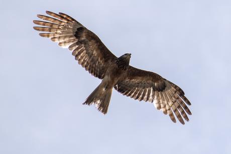Square-tailed Kite - Phillip Williams