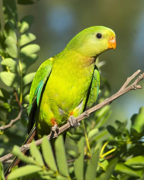 Superb Parrot Female_Phillip Williams