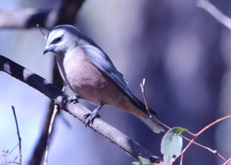White-browed Woodswallow (female) - Graham Russell
