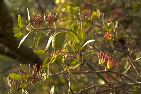 McCann Road Grey Mistletoe - Eric Whiting