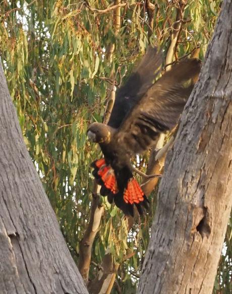 Glossy Black-Cockatoo - Nella Smith