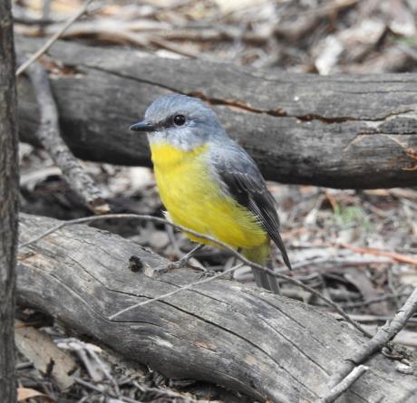 Eatern Yellow Robin