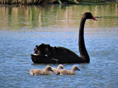 Black Swan and cygnets Fivebough - Anne Lepper